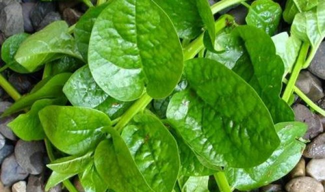 11 công dụng của rau mồng tơi đối với sức khỏe con người ít ai biết