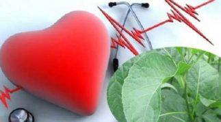 Cách chữa cao huyết áp bằng cây mật gấu hiệu quả cho người bệnh