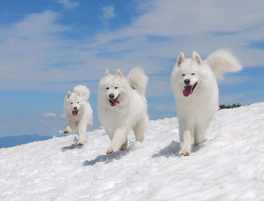 Hướng dẫn cách chăm sóc và huấn luyện chó Samoyed