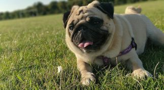 Kinh nghiệm chăm sóc, huấn luyện chó Pug chuyên nghiệp