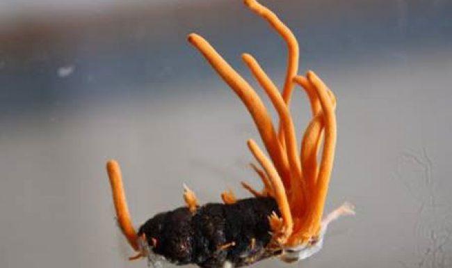 Đông trùng hạ thảo là gì? Phân biệt đông trùng hạ thảo thật giả như thế nào?