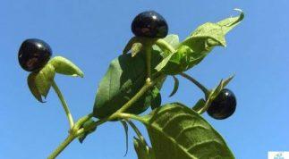 Tác dụng của cây cà độc dược đối với sức khỏe con người ai cũng nên biết