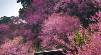 Vẻ đẹp rừng hoa anh đào nổi tiếng tại Thái Lan