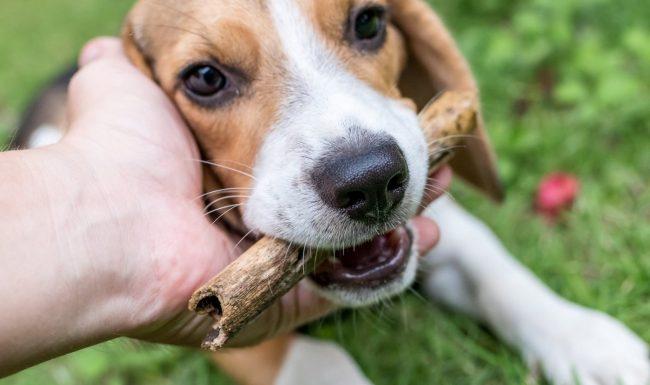 Phương pháp huấn luyện chó nhặt đồ cực kỳ đơn giản